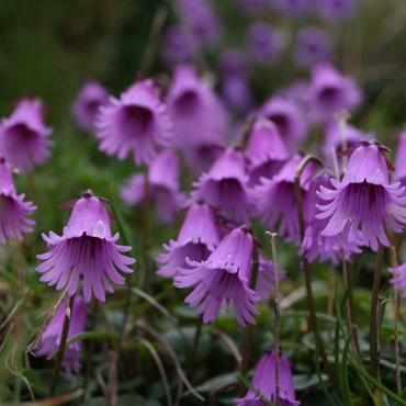 Flora Carpatilor 2