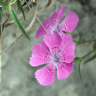 Flora Carpatilor 4
