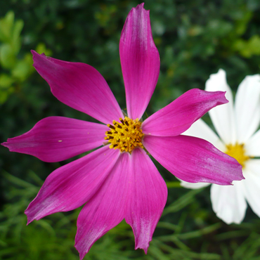 Flora Carpatilor 1